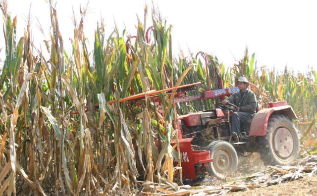 地里的玉米秸秆