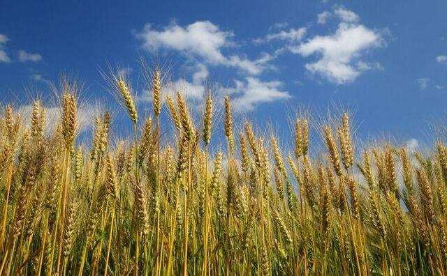 三夏收获季节农作物秸秆