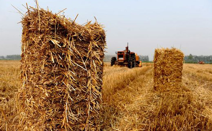 水稻秸秆示意图