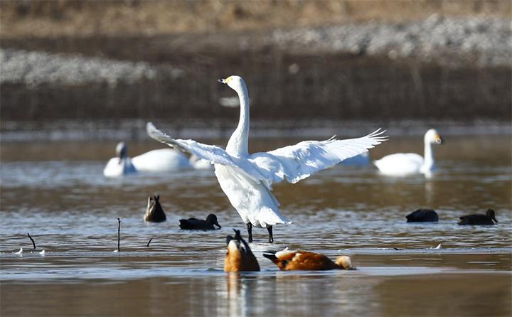 山东金格瑞马总拍的美丽天鹅