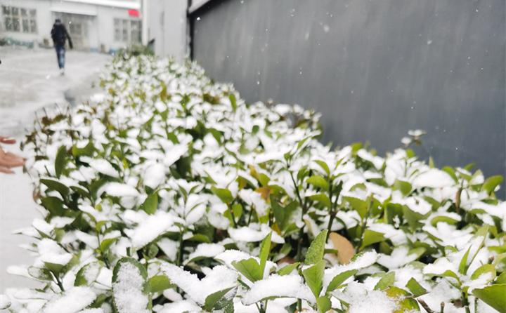 山东金格瑞下雪时的绿植